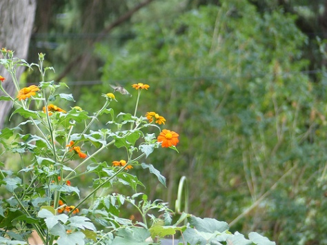 Hummingbird and Mexican Sunflowers