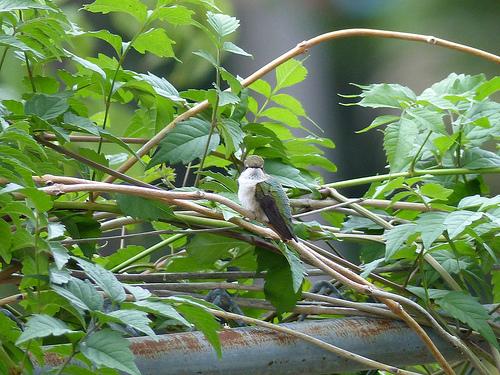 Hummingbird on Fence
