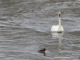 Swan and Hooded Merganser