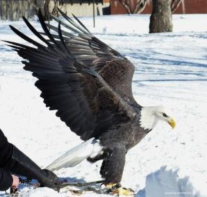 eagle (6)