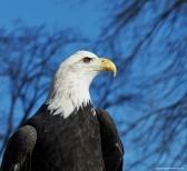 eagle (7)