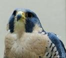 falcon (10)
