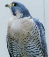falcon (9)
