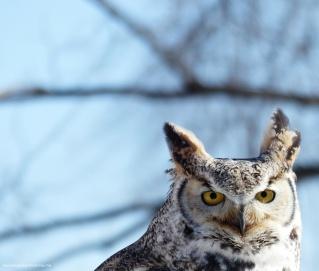 horned_owl (1)
