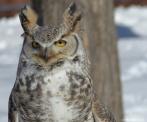 horned_owl (2)