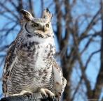horned_owl (3)