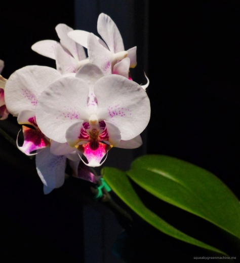 white orchid