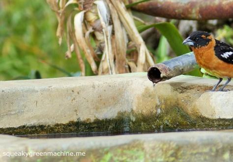 spotted grosbeak